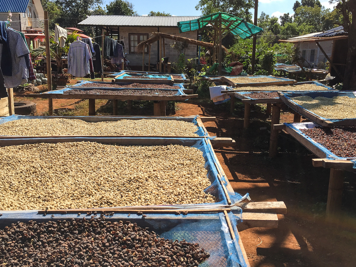 Drying Coffee in the Sun at the Genius Shan Highlands Coffee Production Facilities in Ywar Ngan