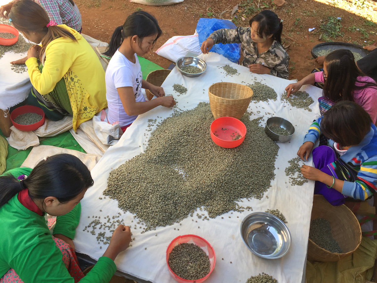 Sorting Green Coffee Beans at the Genius Shan Highlands Coffee Production Facilities in Ywar Ngan