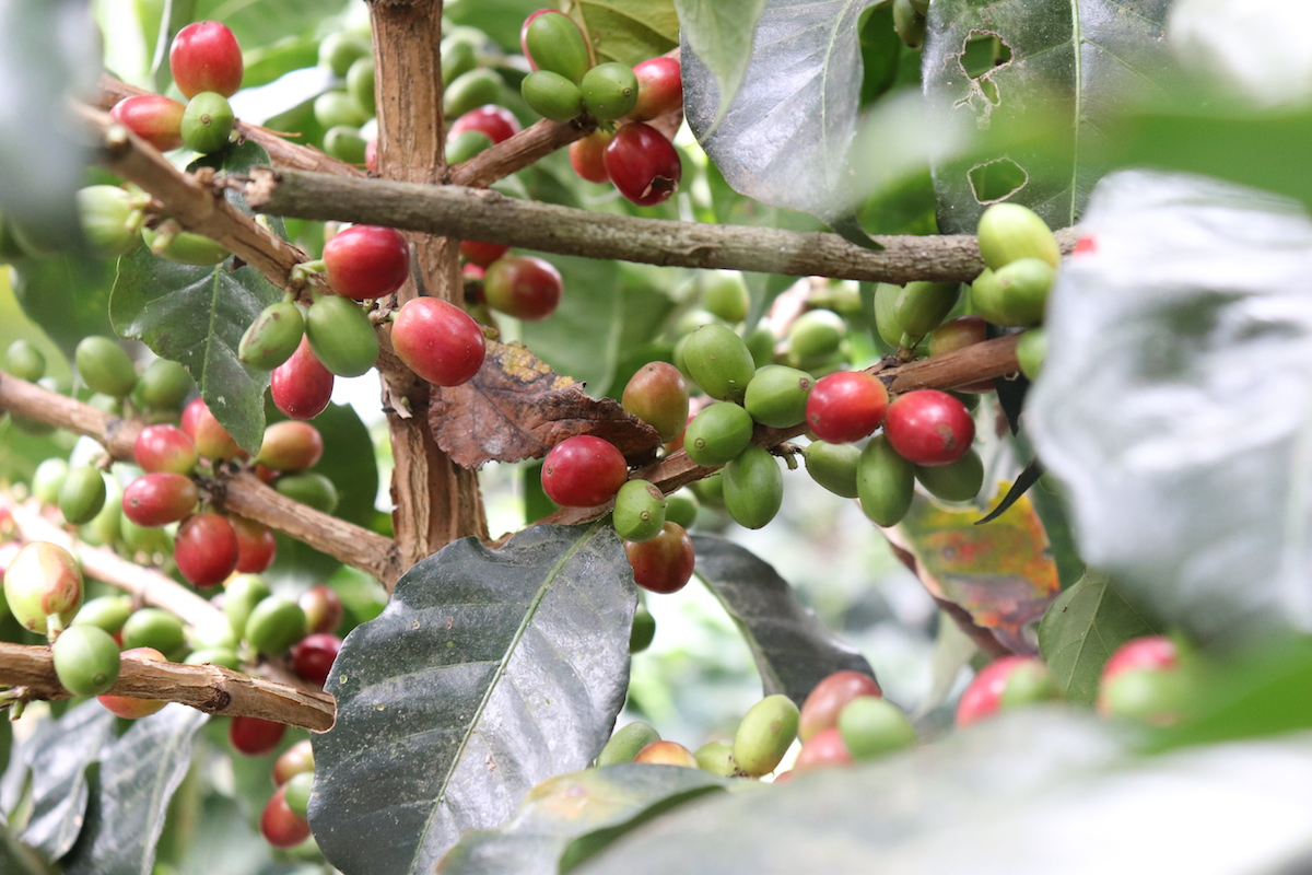 Colombian Coffee Cherries