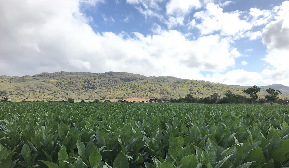 Esteli Tobacco Fields