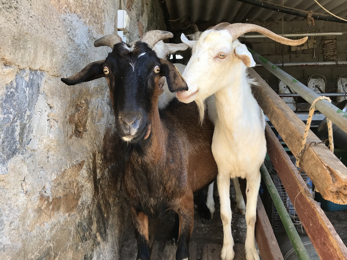 Goats on a cheese farm in Naxos Island Greece
